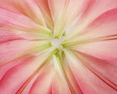 Petals pink lilies — Stock Photo