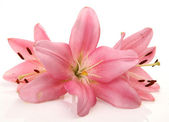 Pink lilies — Stock Photo