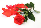Scarlet rose — Stock Photo