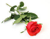 Scarlet rose — Stockfoto