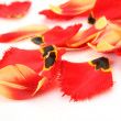 Petals of tulips on a white background — Stock Photo