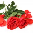 Fine red rose — Stock Photo