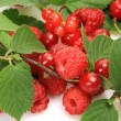 Ripe berries — Stockfoto