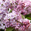 Branch of a lilac — Stock Photo #39074725