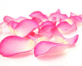 Petals of a rose — Stock Photo