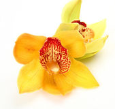 Fine orchids — Stock Photo