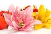 Fine lilies — Stock Photo