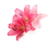Pink lilies on a white background — Stock Photo