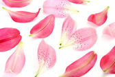 Petals of pink lilies — Stock Photo