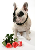 Dog and roses — Stock Photo