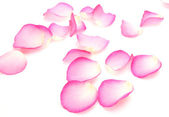 Petals of a pink rose — Stock Photo
