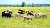 Grazed cows — Stock Photo