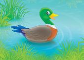 Duck — Zdjęcie stockowe