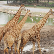 Large Giraffes at waterhole - Stock Photo