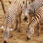 Zebra eating grass — Stock Photo #15648069