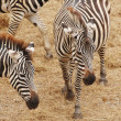 Zebras — Stock Photo #15648095