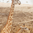 Large Giraffes at waterhole — Stock Photo