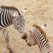 Zebras — Stock Photo #15648159