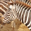 Zebras — Stock Photo #15648161