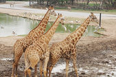 Large Giraffes at waterhole — Stock Photo