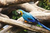 在树枝上多彩蓝鹦鹉 — 图库照片
