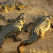 Alligators on  beach — Stock Photo