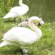 Swans family — Stock Photo #24674515
