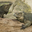The Komodo dragons are the largest lizards in the world - Stock Photo