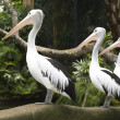 Pelican — Stock Photo #24675809