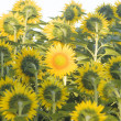 Field of sunflowers — Stock Photo #24677743
