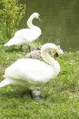 Swans family — Stock Photo
