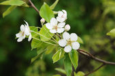 Branch in blossom — Stock Photo