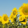 Field of sunflowers — Stock Photo