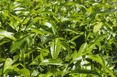 Tea plants — Stock Photo