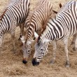Zebras — Stock Photo #26914761