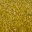 Wheat background — Stock Photo #26920547