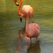 Flamingo — Stock Photo #27266567