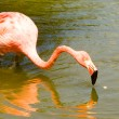 Flamingo — Stock Photo #27269693