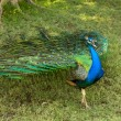 Peacock — Stock Photo #27269707