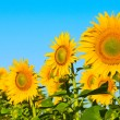 Field of sunflowers — Stock Photo #27269757