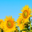 Field of sunflowers — Stock Photo #27270187
