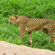 Cheetah — Stockfoto #29730369