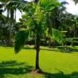 Coconut palm — Stock Photo #29731129