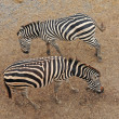 Stock Photo: Zebras