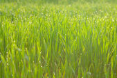 Grass on meadow after rain — Stock Photo