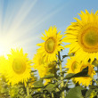 Stock Photo: Field of sunflowers