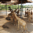 Giraffes in the zoo — Photo