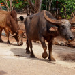 Thai buffalo in the Pattaya zoo — Stock Photo #51654557