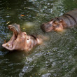 Hippos in Pattaya zoo — Stock Photo #51654823