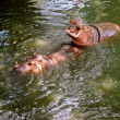Hippos in Pattaya zoo — Stock Photo #51654963